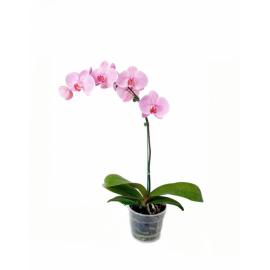 Орхидея Фаленопсис 1ствол